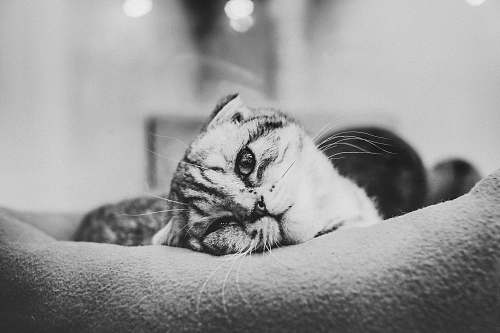 black-and-white grayscale photo of cat lying on pillow cry