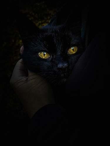 pet black cat black cat