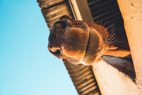 photo camel closeup photography of brown camel mammal free for commercial use images