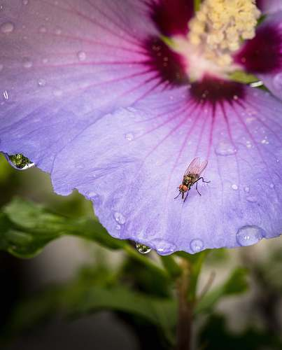 flower black fly on flower geranium