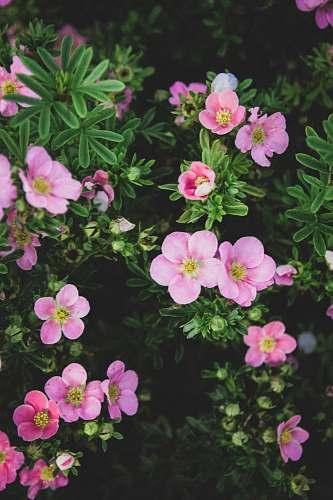 plant blooming pink petaled flowers geranium