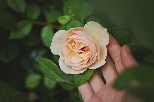 flower person holding beige rose flower rose