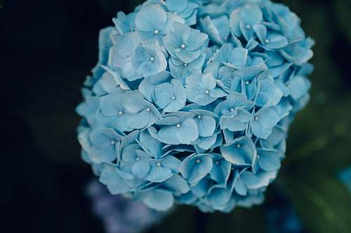 flower photo of teal flowers geranium