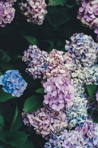 flower pink and blue hydrangeas flowers plant