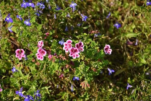 flower pink flowers geranium