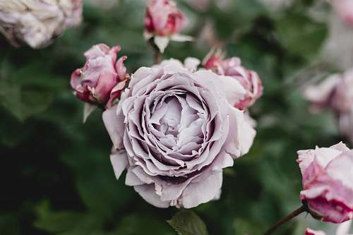 flower pink rose rose