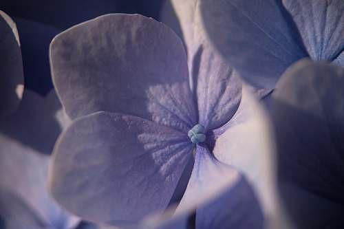 geranium purple flower plant