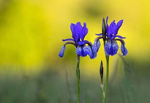 flower purple iris flowers iris