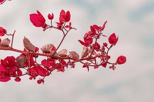 flower red-petaled flower petal