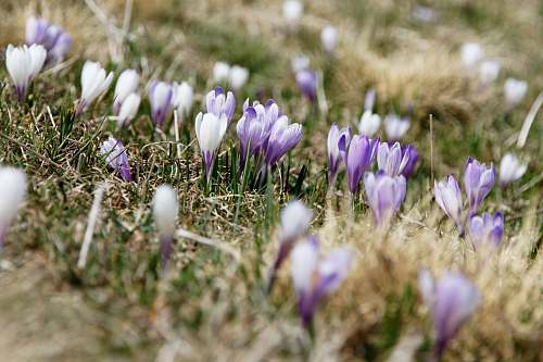 flower selective focus photography of white and purple petaled flowers during daytime crocus