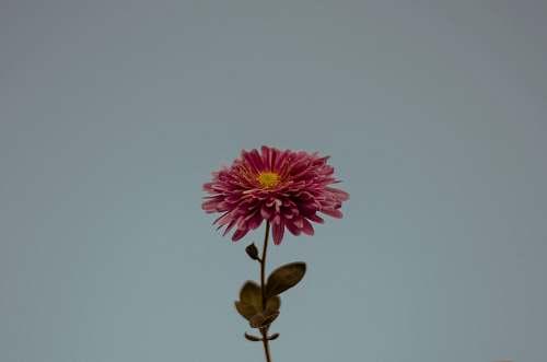 flower shallow focus photo of pink flower dahlia