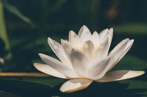 flower white lotus flower plant