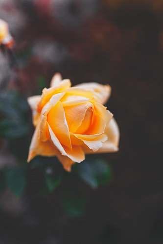 flower yellow rose plant