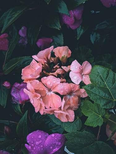 blossom blooming pink flowers geranium