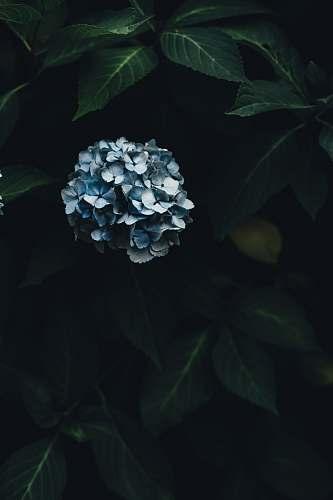 blossom blue hydrangeas flowers plant