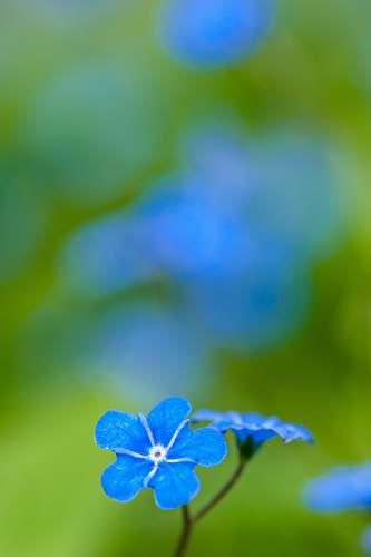 plant blue petaled flower geranium