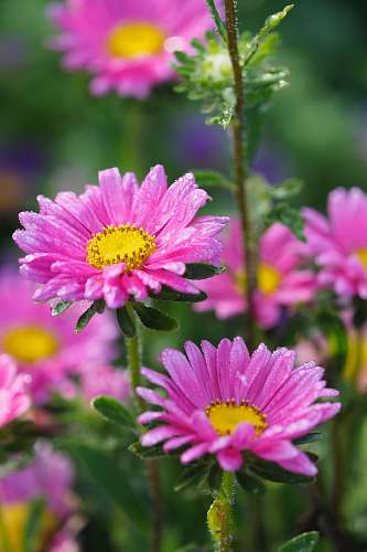 plant bokeh photography of two purple daisies flora