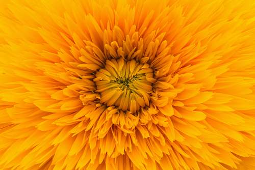 petal close up photo of yellow clustered flower yellow