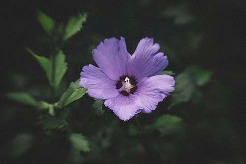 blossom close up photography of purple flower geranium