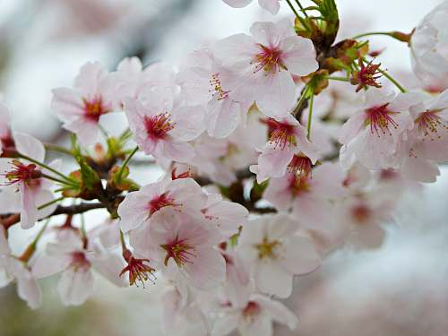 cherry blossom close-up photography of white petaled flowers japan
