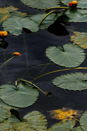 plant green water lily on body of water lily