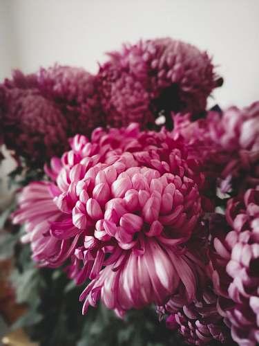 plant photo of purple Carnation flowers dahlia