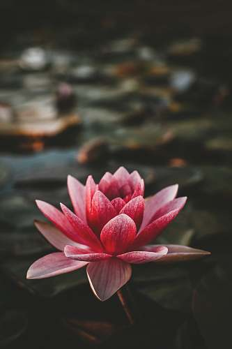 plant pink and white lotus flower lily
