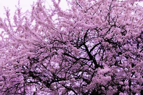 plant pink blossom tree blossom