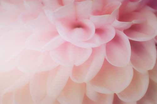plant pink cluster flower dahlia