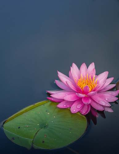 plant pink lotus flower on body of water lily