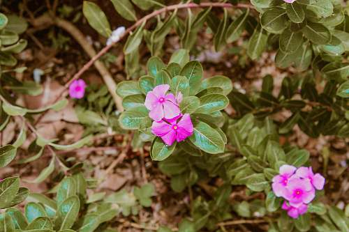 blossom pink petaled flower geranium