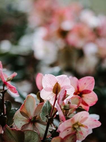 blossom pink petaled flowers geranium