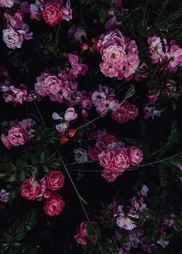 plant pink-petaled flowers geranium