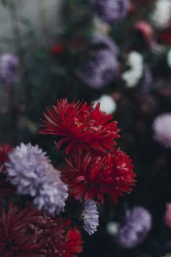 blossom red and white daisy flowers dahlia