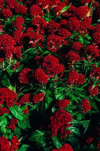 plant red cluster petaled flower blossom