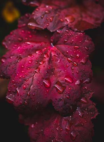 plant red leaf with water drops blossom
