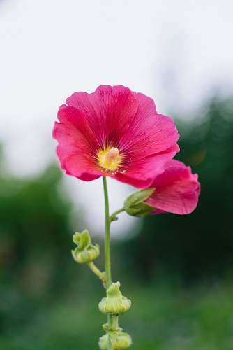 blossom red-petaled flowers during day geranium