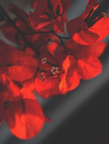 plant red-petaled flowers in selective focus photo geranium