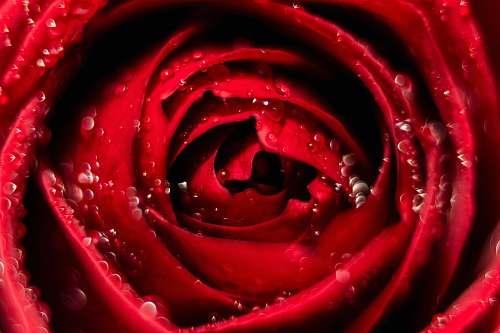 plant red rose rose