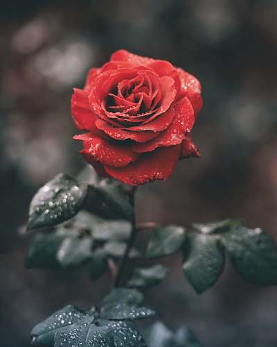 plant red rose with droplets rose