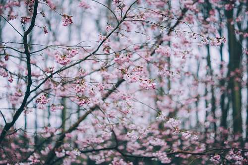 blossom selective focus photo of pink cherry blossom flora