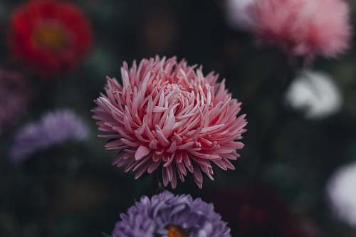 plant selective focus photography of pink Chrysanthemum x grandiflorum flower in bloom dahlia