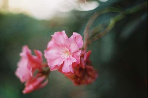 blossom selective focus photography of pink petaled flower geranium