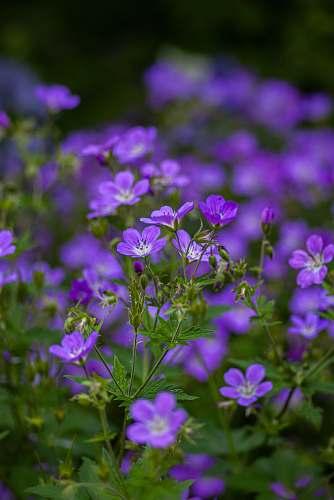 blossom selective focus photography of purple-petaled flowers geranium