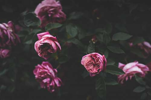blossom selective photography of pink petaled flowers rose