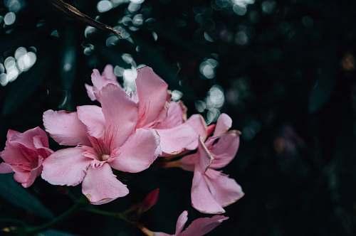 blossom shallow focus photography of pink flowers geranium