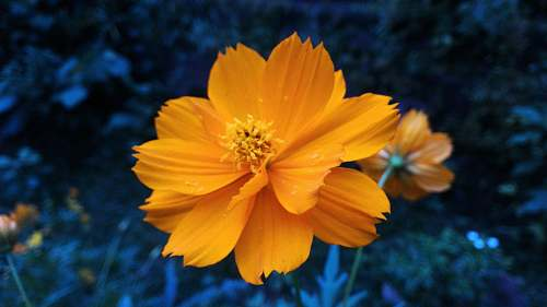 cosmos shallow focus photography of yellow flower person