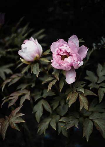 plant tilt shift lens photography of pink flowers peony