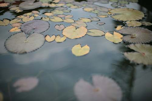 blossom water lily lily