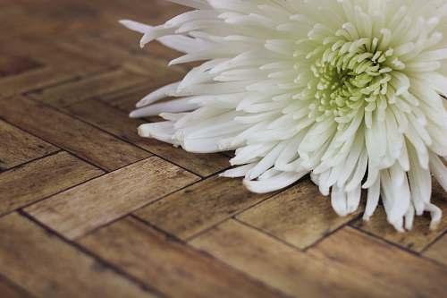 blossom white cluster flower dahlia